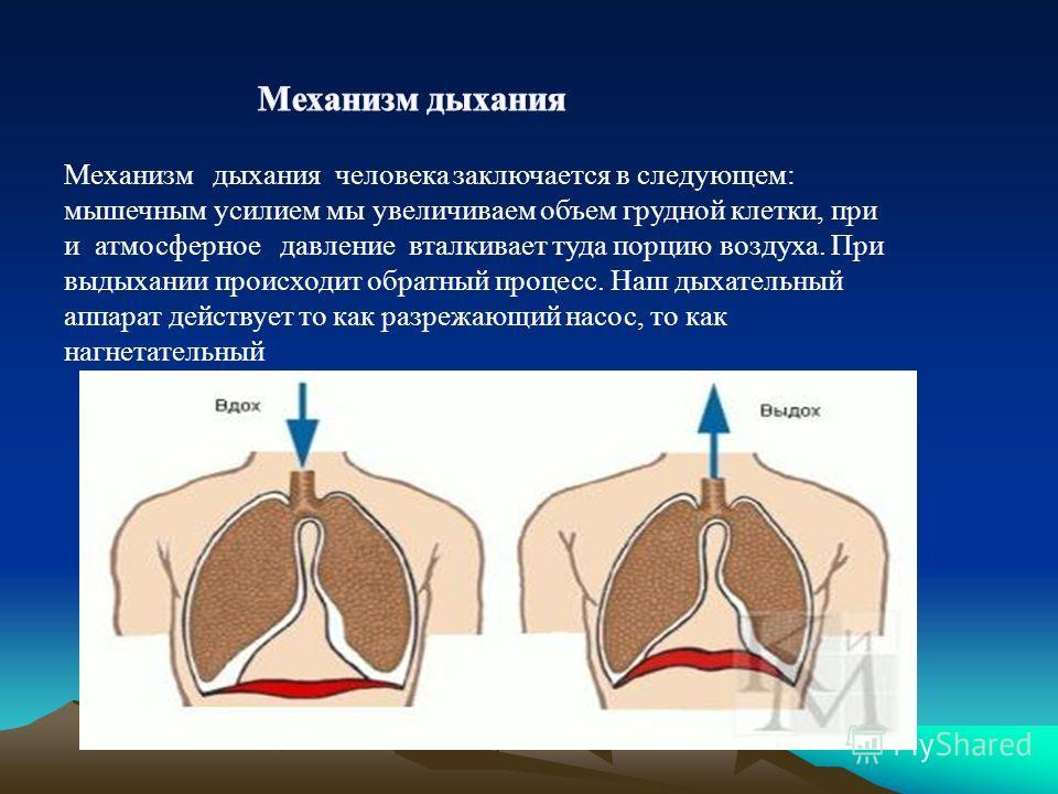 Механизм дыхания человека заключается в следующем: мышечным усилием мы увеличиваем объем грудной клетки, при и атмосферное давление вталкивает туда порцию воздуха. При выдыхании происходит обратный процесс. Наш дыхательный аппарат действует то как ра