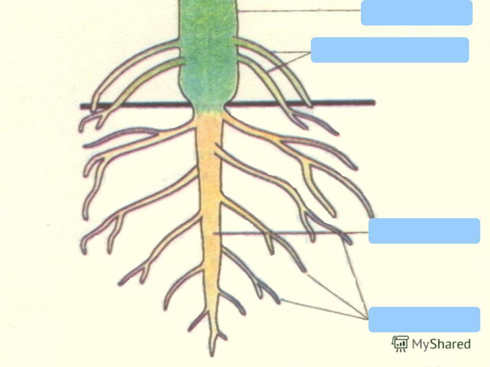 Корневая система – это совокупность всех корней одного растения Виды корней ГлавныйБоковыеПридаточные