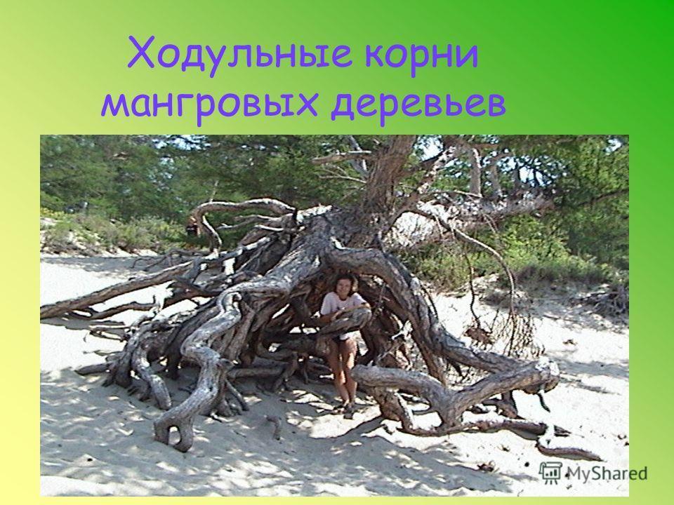 Воздушные корни тилландсии