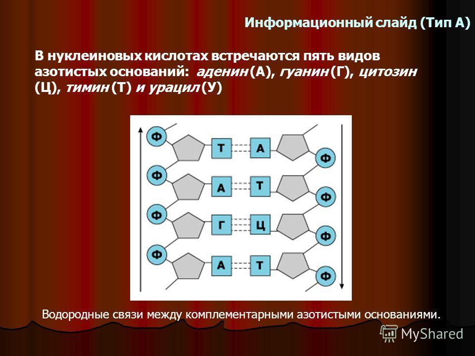 В нуклеиновых кислотах встречаются пять видов азотистых оснований: аденин (А), гуанин (Г), цитозин (Ц), тимин (Т) и урацил (У) Информационный слайд (Тип А) Водородные связи между комплементарными азотистыми основаниями.