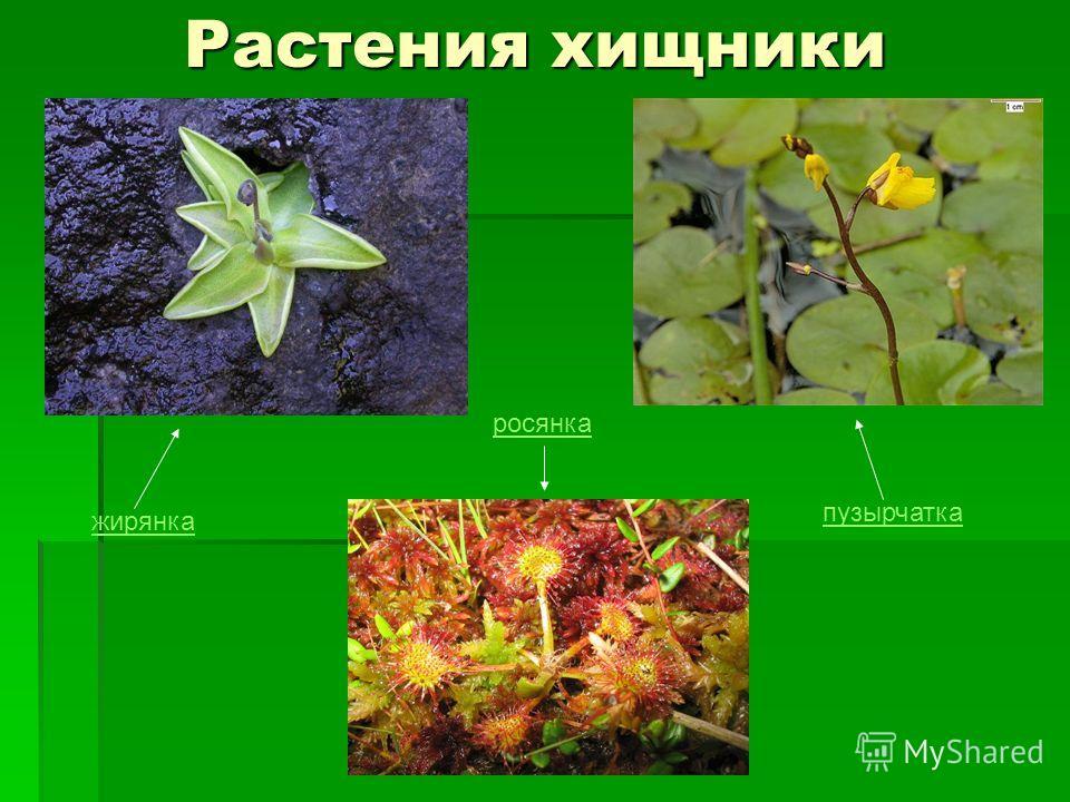 Растения хищники жирянка пузырчатка росянка