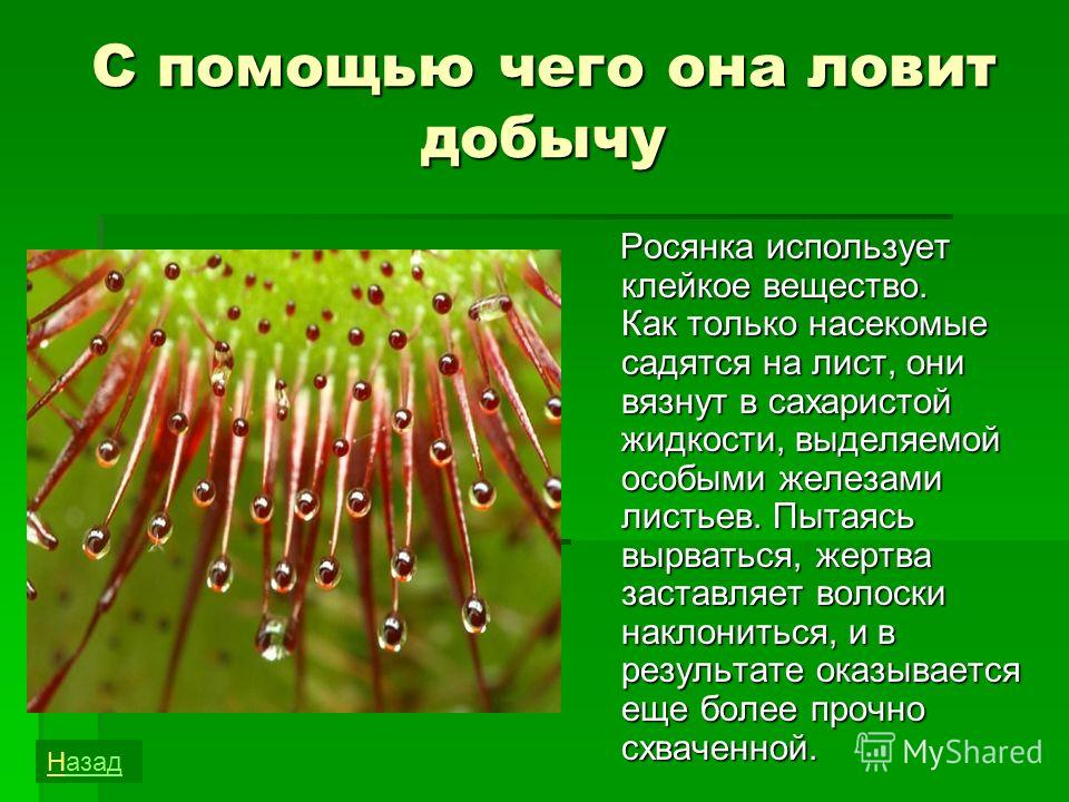 растение росянка ловит насекомых для