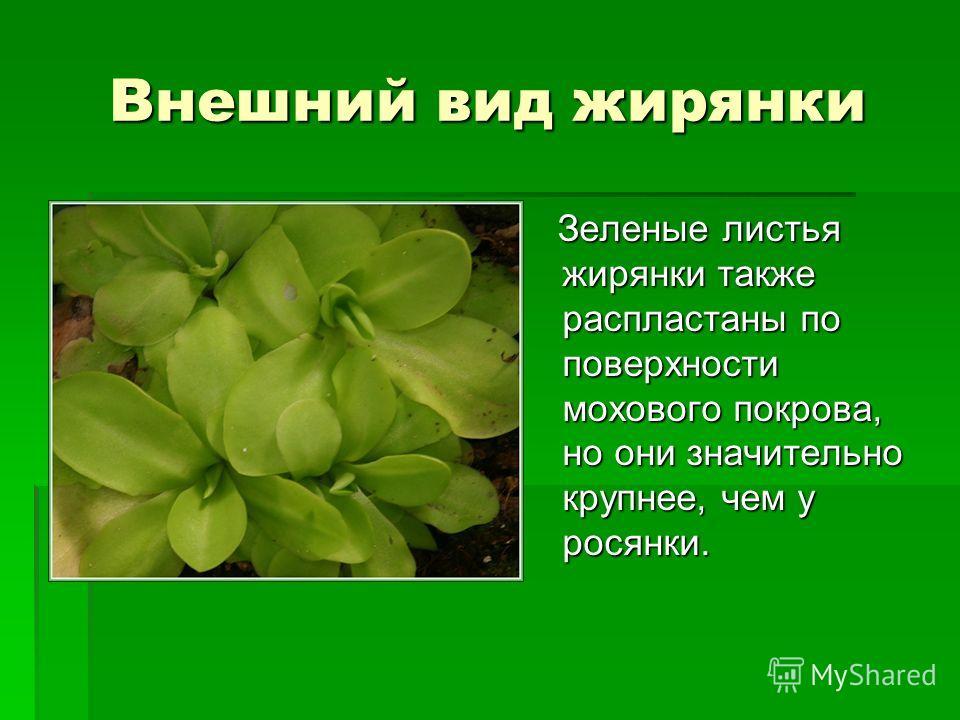 Внешний вид жирянки Зеленые листья жирянки также распластаны по поверхности мохового покрова, но они значительно крупнее, чем у росянки. Зеленые листья жирянки также распластаны по поверхности мохового покрова, но они значительно крупнее, чем у росян