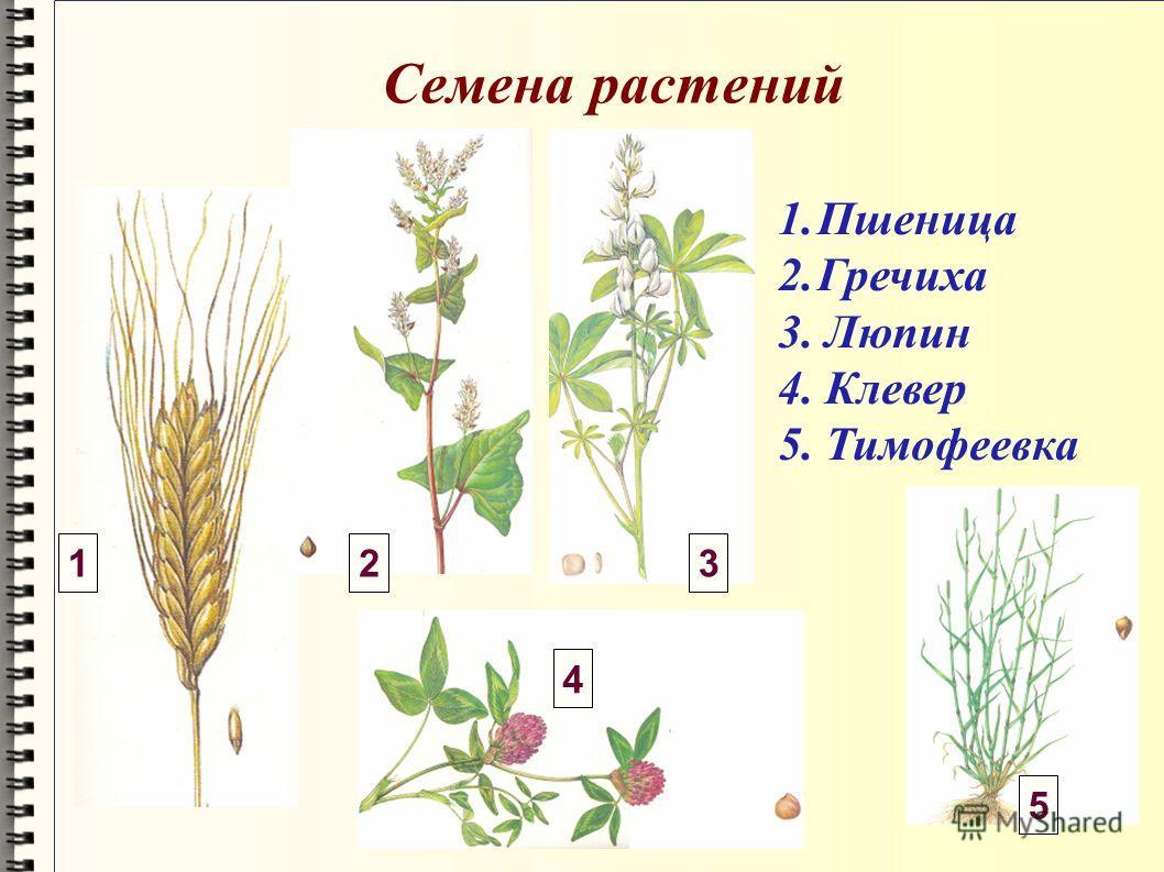 Семена растений 1.Пшеница 2.Гречиха 3. Люпин 4. Клевер 5. Тимофеевка 123 4 5