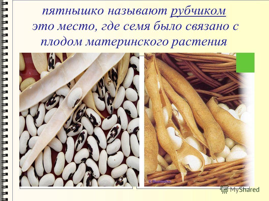 пятнышко называют рубчиком это место, где семя было связано с плодом материнского растения
