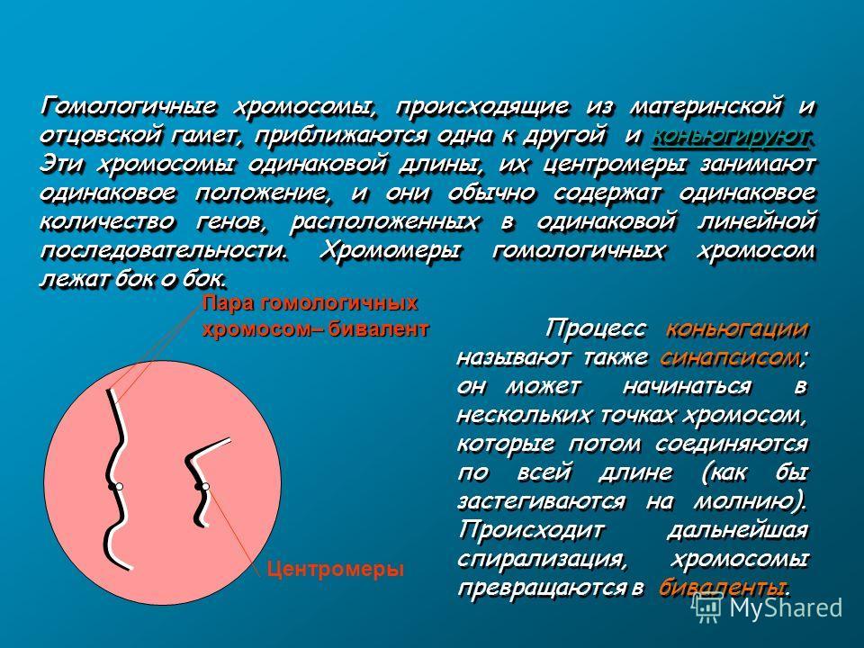 Пара гомологичных хромосом– бивалент Центромеры Гомологичные хромосомы, происходящие из материнской и отцовской гамет, приближаются одна к другой и коньюгируют. Эти хромосомы одинаковой длины, их центромеры занимают одинаковое положение, и они обычно