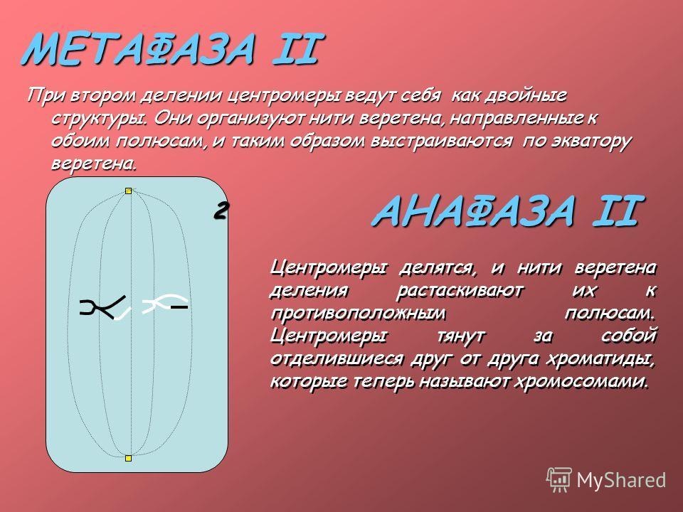 МЕТАФАЗА II При втором делении центромеры ведут себя как двойные структуры. Они организуют нити веретена, направленные к обоим полюсам, и таким образом выстраиваются по экватору веретена. АНАФАЗА II Центромеры делятся, и нити веретена деления растаск