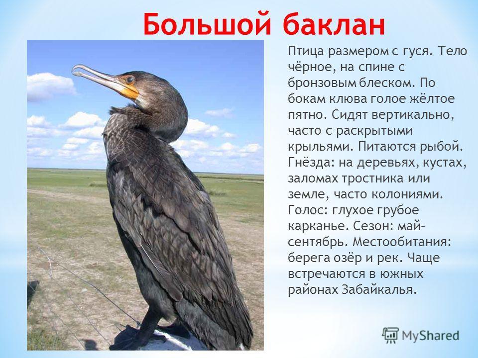 Птица размером с гуся. Тело чёрное, на спине с бронзовым блеском. По бокам клюва голое жёлтое пятно. Сидят вертикально, часто с раскрытыми крыльями. Питаются рыбой. Гнёзда: на деревьях, кустах, заломах тростника или земле, часто колониями. Голос: глу