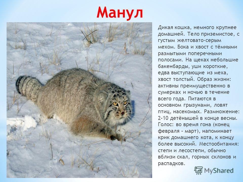 Манул Дикая кошка, немного крупнее домашней. Тело приземистое, с густым желтовато-серым мехом. Бока и хвост с тёмными размытыми поперечными полосами. На щеках небольшие бакенбарды, уши короткие, едва выступающие из меха, хвост толстый. Образ жизни: а
