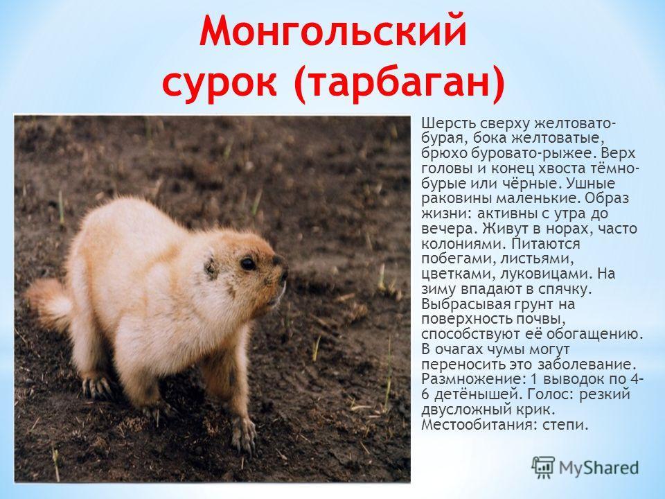 Монгольский сурок (тарбаган) Шерсть сверху желтовато- бурая, бока желтоватые, брюхо буровато-рыжее. Верх головы и конец хвоста тёмно- бурые или чёрные. Ушные раковины маленькие. Образ жизни: активны с утра до вечера. Живут в норах, часто колониями. П