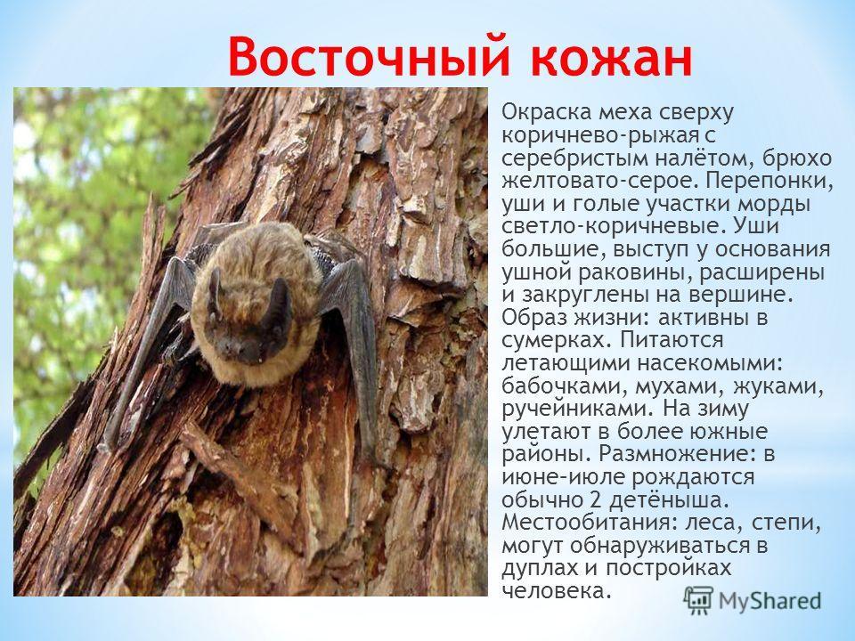 Окраска меха сверху коричнево-рыжая с серебристым налётом, брюхо желтовато-серое. Перепонки, уши и голые участки морды светло-коричневые. Уши большие, выступ у основания ушной раковины, расширены и закруглены на вершине. Образ жизни: активны в сумерк
