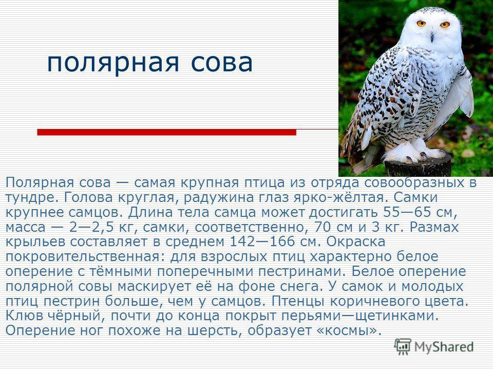 полярная сова Полярная сова самая крупная птица из отряда совообразных в тундре. Голова круглая, радужина глаз ярко-жёлтая. Самки крупнее самцов. Длина тела самца может достигать 5565 см, масса 22,5 кг, самки, соответственно, 70 см и 3 кг. Размах кры