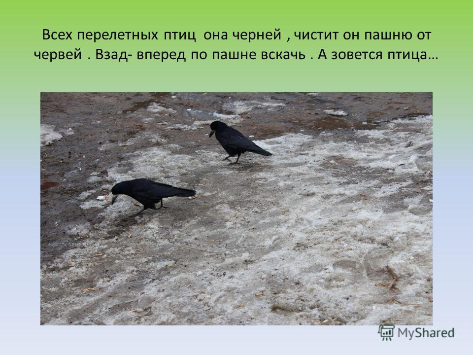 Всех перелетных птиц она черней, чистит он пашню от червей. Взад- вперед по пашне вскачь. А зовется птица…