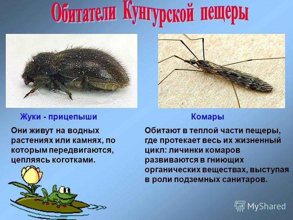 Жуки - прицепышиКомары Они живут на водных растениях или камнях, по которым передвигаются, цепляясь коготками. Обитают в теплой части пещеры, где протекает весь их жизненный цикл: личинки комаров развиваются в гниющих органических веществах, выступая