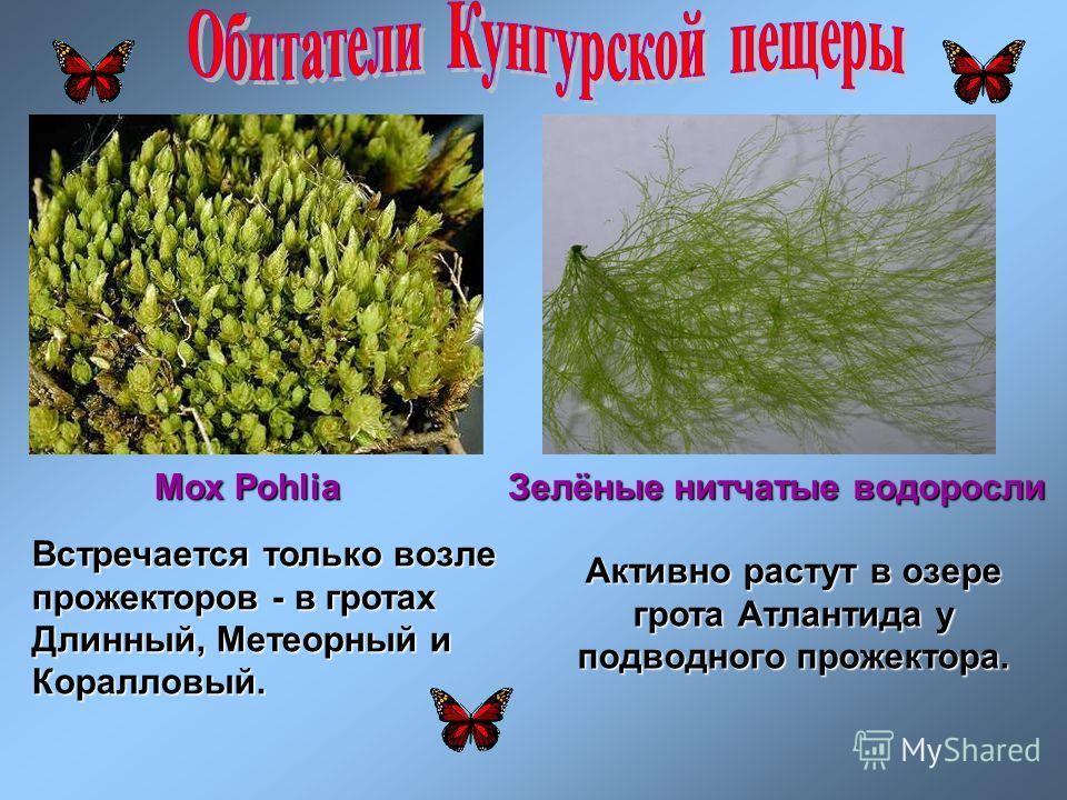 Мох Pohlia Зелёные нитчатые водоросли Встречается только возле прожекторов - в гротах Длинный, Метеорный и Коралловый. Активно растут в озере грота Атлантида у подводного прожектора.