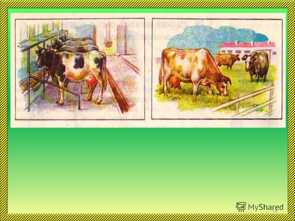 Крупный рогатый скот –это прежде всего коровы. В нашей стране разводят разные породы этих замечательных животных. Все породы делят на молочные, мясные и мясомолочные. Подумайте, для чего разводят животных этих пород? 13
