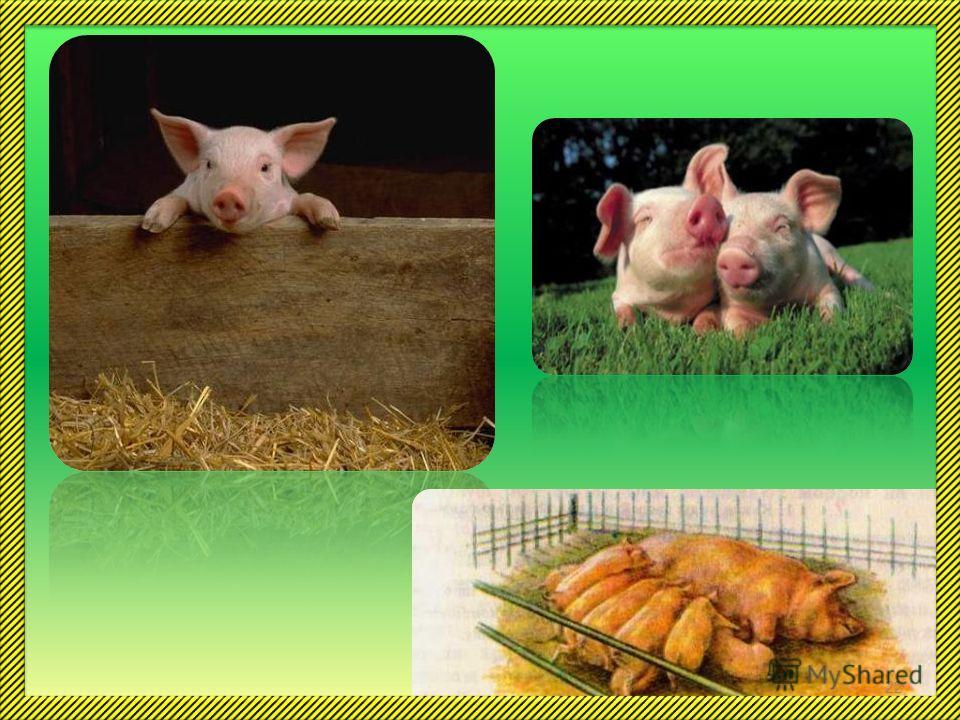 Свиньи совсем не грязнули, они, наоборот, очень чистоплотны. Тот, кто видел, как в жару свинья ложится в грязь, должен знать: она делает это для того, чтобы охладить кожу и избавиться от надоедливых насекомых. Свиней нужно почаще мыть и чистить. Соде