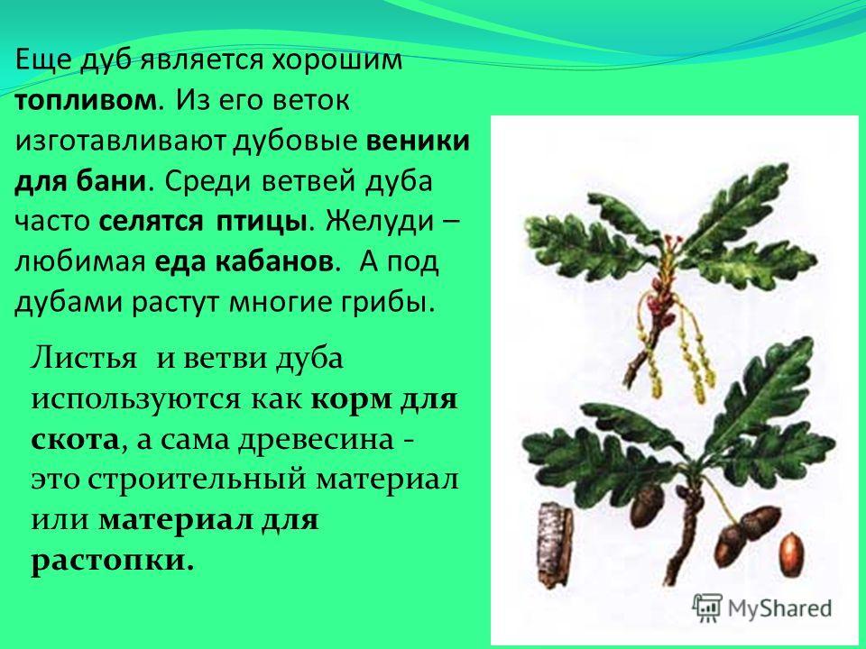 Еще дуб является хорошим топливом. Из его веток изготавливают дубовые веники для бани. Среди ветвей дуба часто селятся птицы. Желуди – любимая еда кабанов. А под дубами растут многие грибы. Листья и ветви дуба используются как корм для скота, а сама