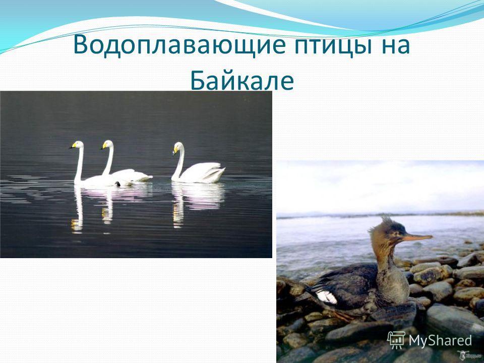 Водоплавающие птицы на Байкале