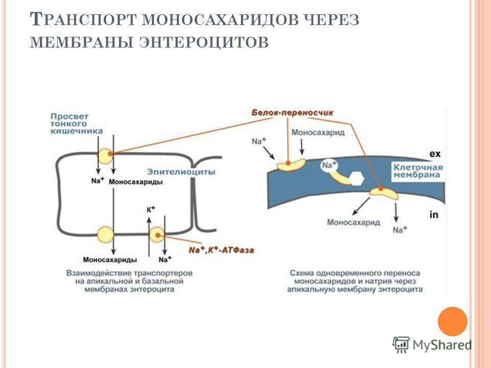 Т РАНСПОРТ МОНОСАХАРИДОВ ЧЕРЕЗ МЕМБРАНЫ ЭНТЕРОЦИТОВ
