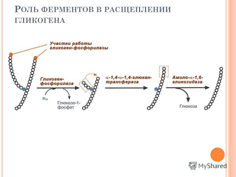 Р ОЛЬ ФЕРМЕНТОВ В РАСЩЕПЛЕНИИ ГЛИКОГЕНА