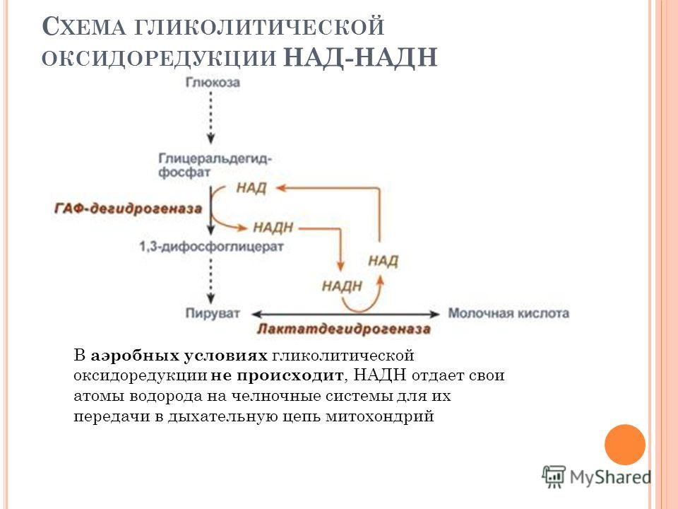 С ХЕМА ГЛИКОЛИТИЧЕСКОЙ ОКСИДОРЕДУКЦИИ НАД-НАДН В аэробных условиях гликолитической оксидоредукции не происходит, НАДН отдает свои атомы водорода на челночные системы для их передачи в дыхательную цепь митохондрий