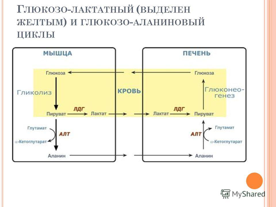 Г ЛЮКОЗО - ЛАКТАТНЫЙ ( ВЫДЕЛЕН ЖЕЛТЫМ ) И ГЛЮКОЗО - АЛАНИНОВЫЙ ЦИКЛЫ