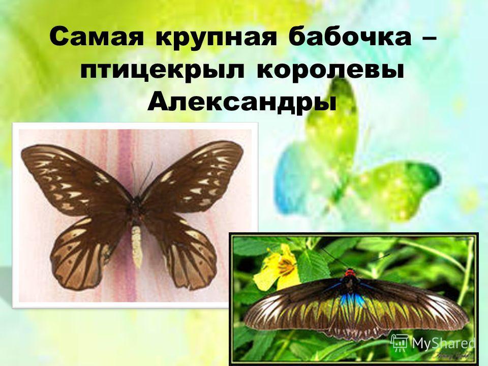 Самая крупная бабочка – птицекрыл королевы Александры