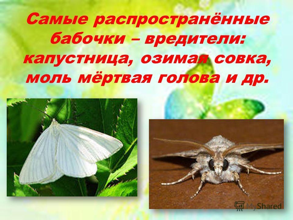 Самые распространённые бабочки – вредители: капустница, озимая совка, моль мёртвая голова и др.
