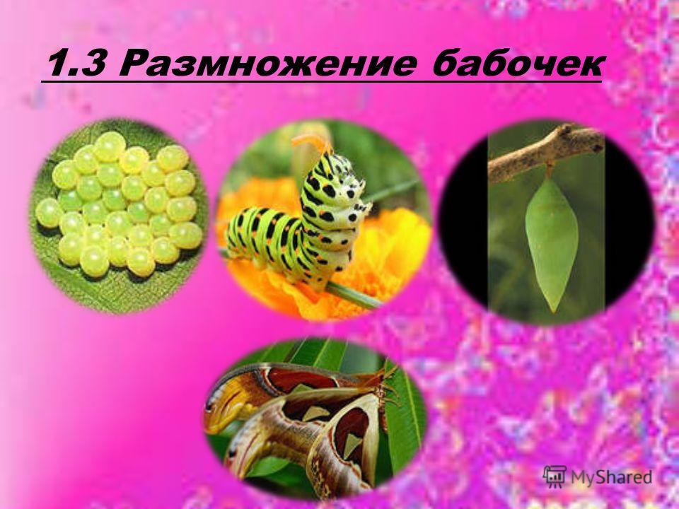 1.3 Размножение бабочек