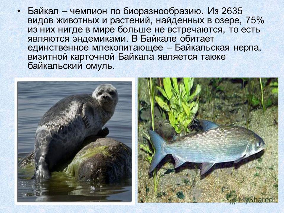 Байкал – чемпион по биоразнообразию. Из 2635 видов животных и растений, найденных в озере, 75% из них нигде в мире больше не встречаются, то есть являются эндемиками. В Байкале обитает единственное млекопитающее – Байкальская нерпа, визитной карточно