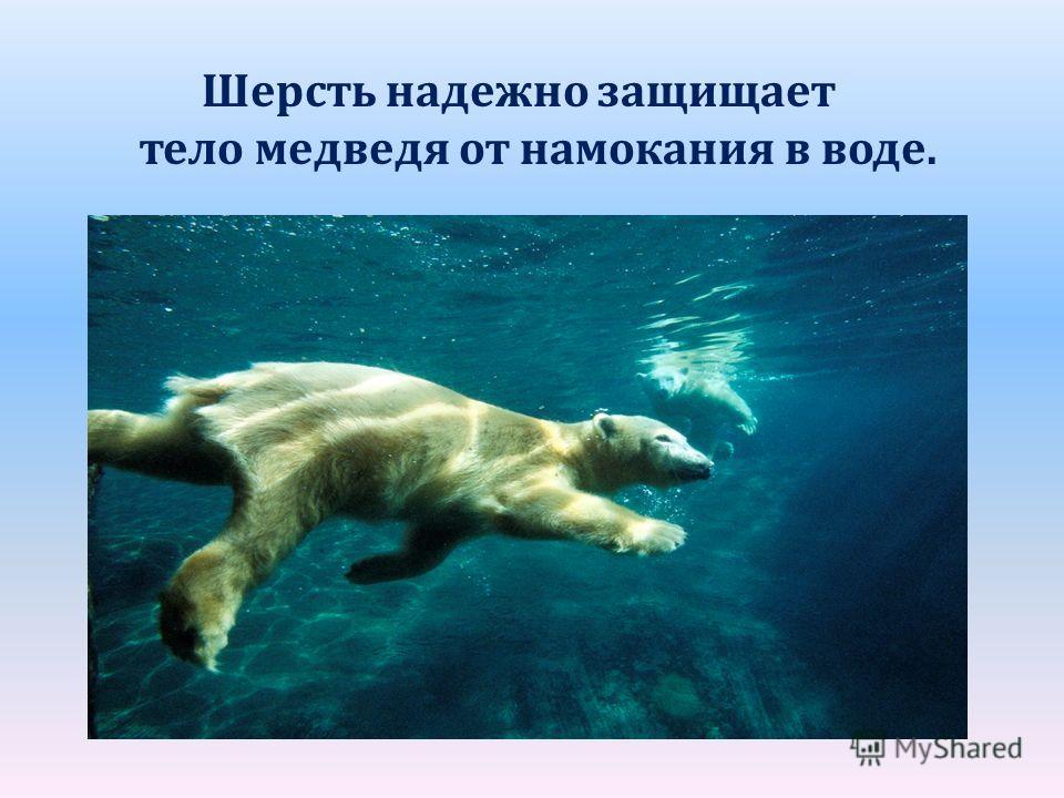 Шерсть надежно защищает тело медведя от намокания в воде.