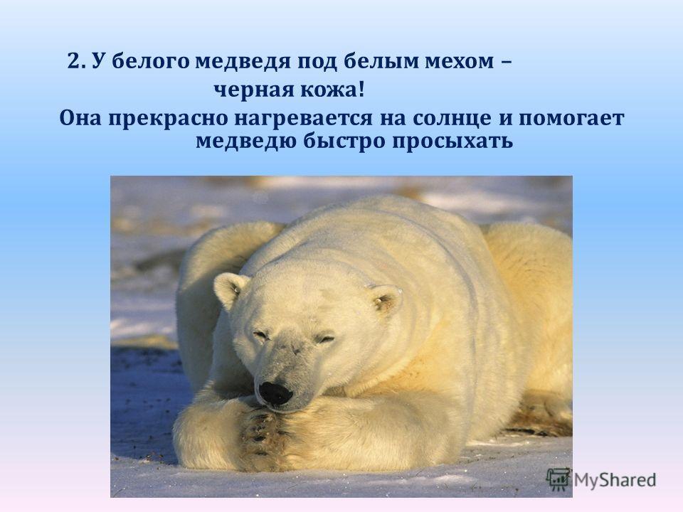 2. У белого медведя под белым мехом – черная кожа! Она прекрасно нагревается на солнце и помогает медведю быстро просыхать