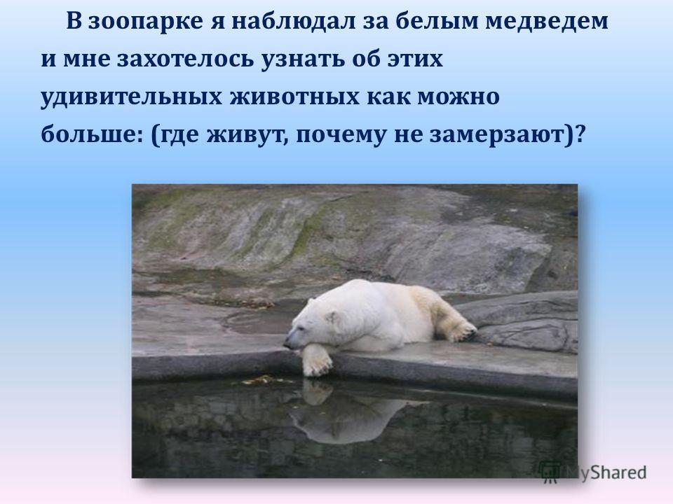 В зоопарке я наблюдал за белым медведем и мне захотелось узнать об этих удивительных животных как можно больше: (где живут, почему не замерзают)?