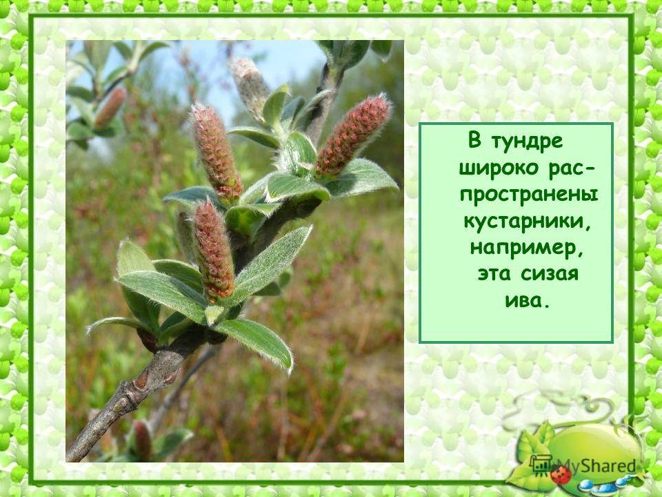 В тундре широко рас- пространены кустарники, например, эта сизая ива.
