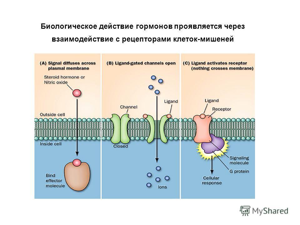 Биологическое действие гормонов проявляется через взаимодействие с рецепторами клеток-мишеней