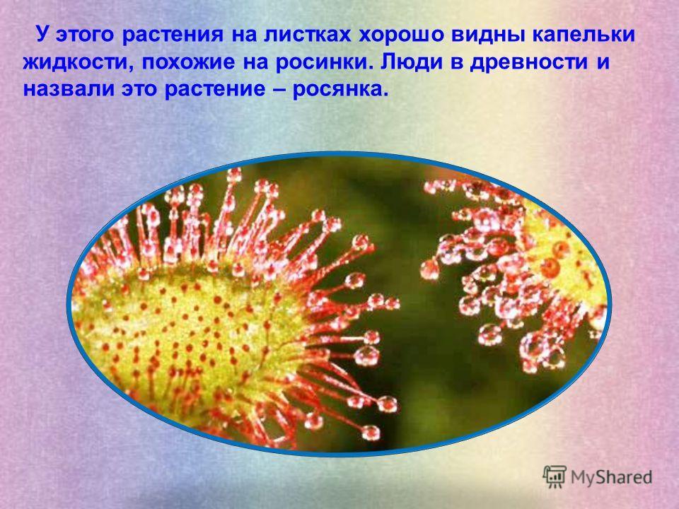 У этого растения на листках хорошо видны капельки жидкости, похожие на росинки. Люди в древности и назвали это растение – росянка.