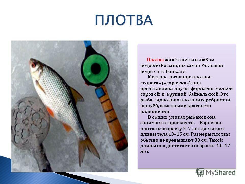 Плотва живёт почти в любом водоёме России, но самая большая водится в Байкале. Местное название плотвы – «сорога» («сорожка»), она представлена двумя формами: мелкой соровой и крупной байкальской. Это рыба с довольно плотной серебристой чешуёй, замет
