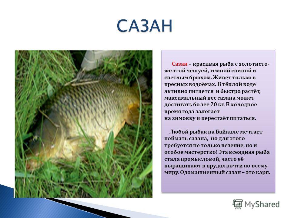 Сазан – красивая рыба с золотисто- желтой чешуёй, тёмной спиной и светлым брюхом. Живёт только в пресных водоёмах. В тёплой воде активно питается и быстро растёт, максимальный вес сазана может достигать более 20 кг. В холодное время года залегает на