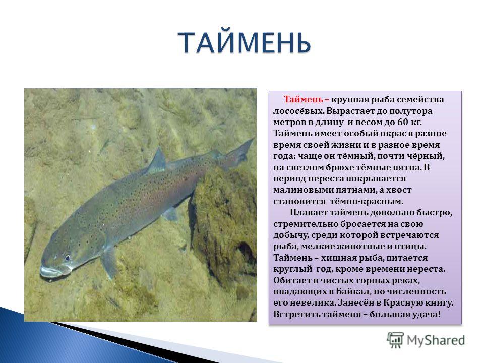 Таймень – крупная рыба семейства лососёвых. Вырастает до полутора метров в длину и весом до 60 кг. Таймень имеет особый окрас в разное время своей жизни и в разное время года: чаще он тёмный, почти чёрный, на светлом брюхе тёмные пятна. В период нере