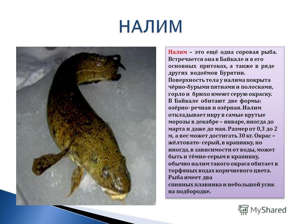 Налим – это ещё одна соровая рыба. Встречается она в Байкале и в его основных притоках, а также в ряде других водоёмов Бурятии. Поверхность тела у налима покрыта чёрно-бурыми пятнами и полосками, горло и брюхо имеют серую окраску. В Байкале обитают д