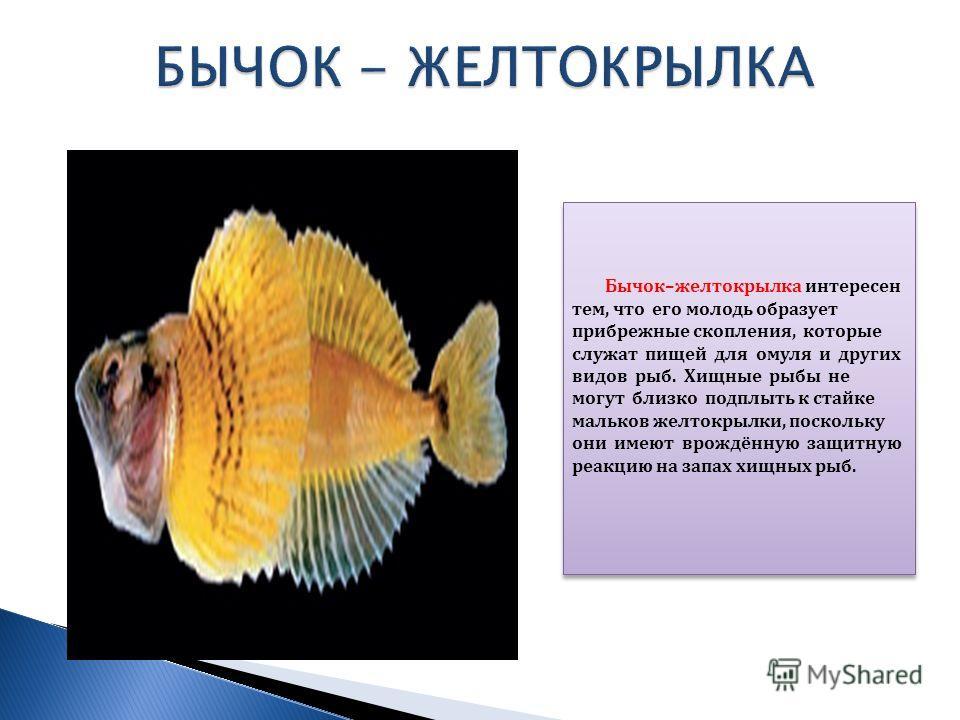 Бычок–желтокрылка интересен тем, что его молодь образует прибрежные скопления, которые служат пищей для омуля и других видов рыб. Хищные рыбы не могут близко подплыть к стайке мальков желтокрылки, поскольку они имеют врождённую защитную реакцию на за