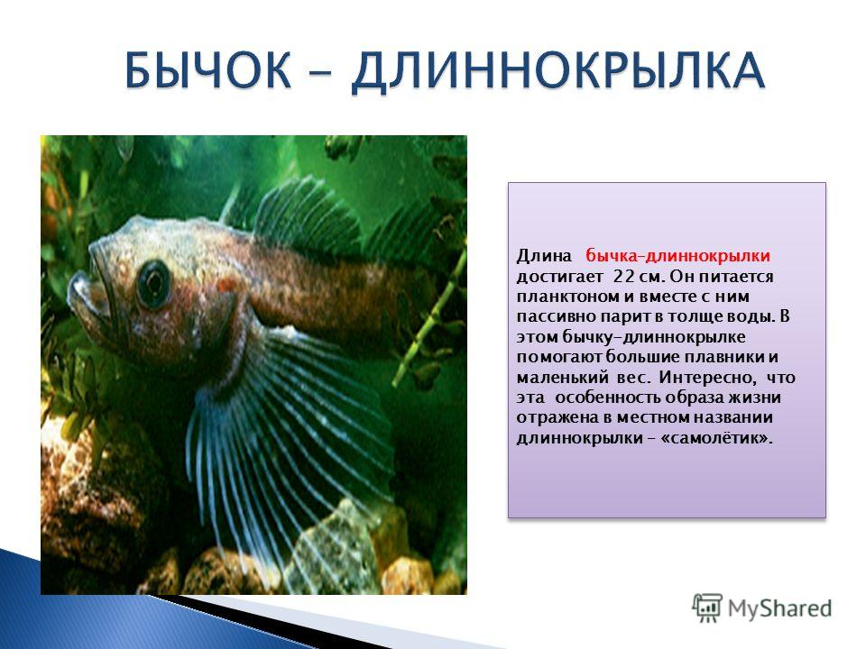 Длина бычка–длиннокрылки достигает 22 см. Он питается планктоном и вместе с ним пассивно парит в толще воды. В этом бычку-длиннокрылке помогают большие плавники и маленький вес. Интересно, что эта особенность образа жизни отражена в местном названии