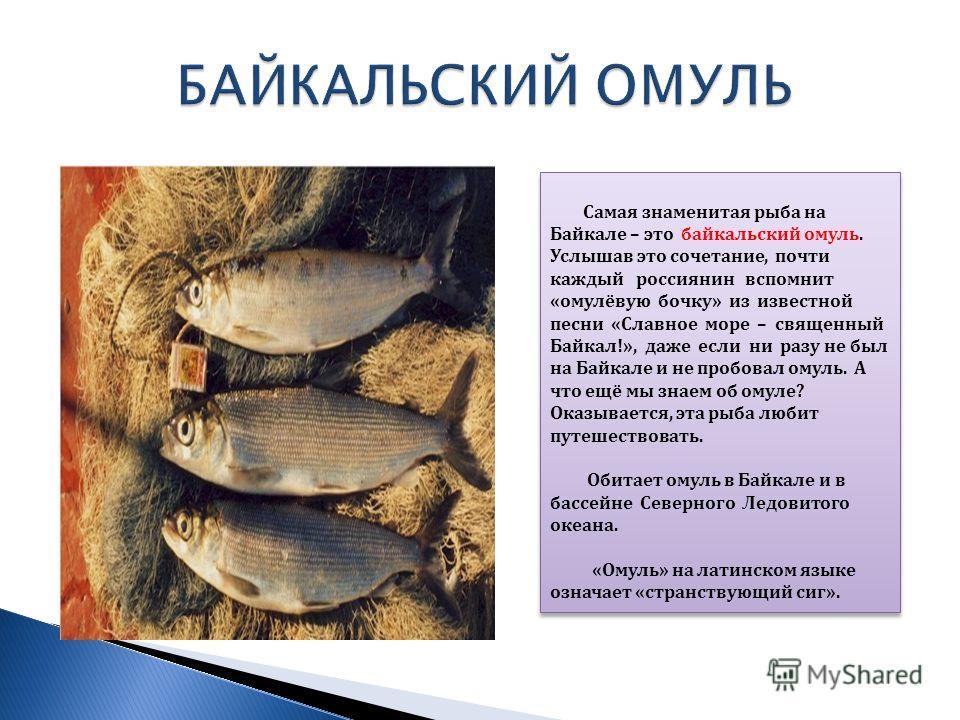 Самая знаменитая рыба на Байкале – это байкальский омуль. Услышав это сочетание, почти каждый россиянин вспомнит «омулёвую бочку» из известной песни «Славное море – священный Байкал!», даже если ни разу не был на Байкале и не пробовал омуль. А что ещ