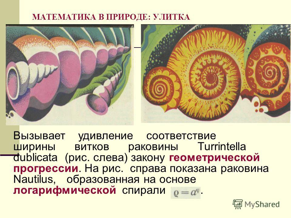МАТЕМАТИКА В ПРИРОДЕ: УЛИТКА Вызывает удивление соответствие ширины витков раковины Turrintella dublicata (рис. слева) закону геометрической прогрессии. На рис. справа показана раковина Nautilus, образованная на основе логарифмической спирали.