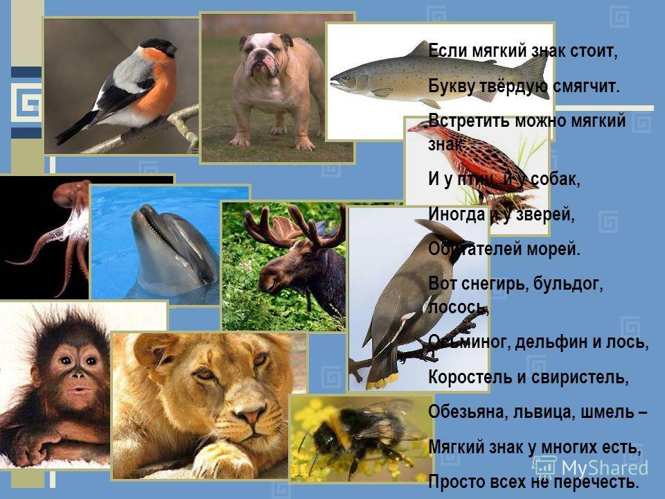 Если мягкий знак стоит, Букву твёрдую смягчит. Встретить можно мягкий знак И у птиц, и у собак, Иногда и у зверей, Обитателей морей. Вот снегирь, бульдог, лосось, Осьминог, дельфин и лось, Коростель и свиристель, Обезьяна, львица, шмель – Мягкий знак