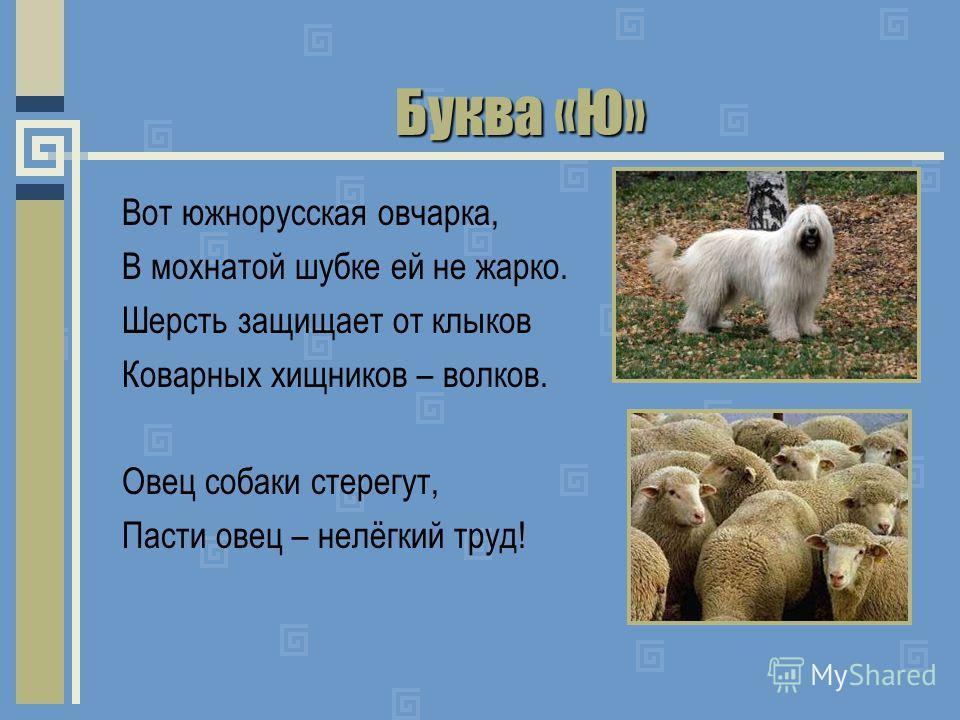 Буква «Ю» Вот южнорусская овчарка, В мохнатой шубке ей не жарко. Шерсть защищает от клыков Коварных хищников – волков. Овец собаки стерегут, Пасти овец – нелёгкий труд!