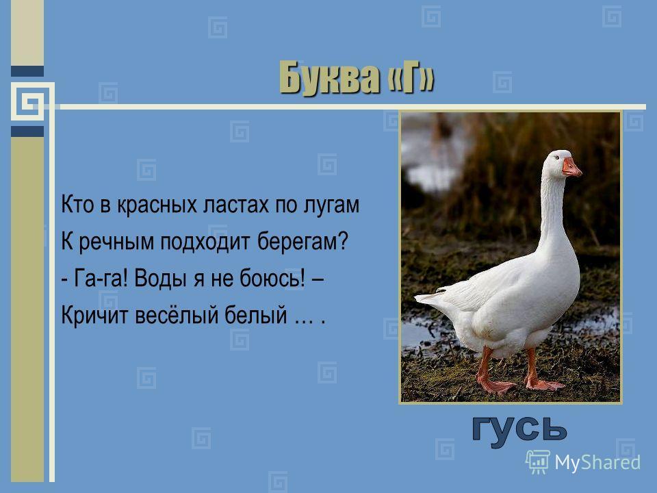 Буква «Г» Кто в красных ластах по лугам К речным подходит берегам? - Га-га! Воды я не боюсь! – Кричит весёлый белый ….