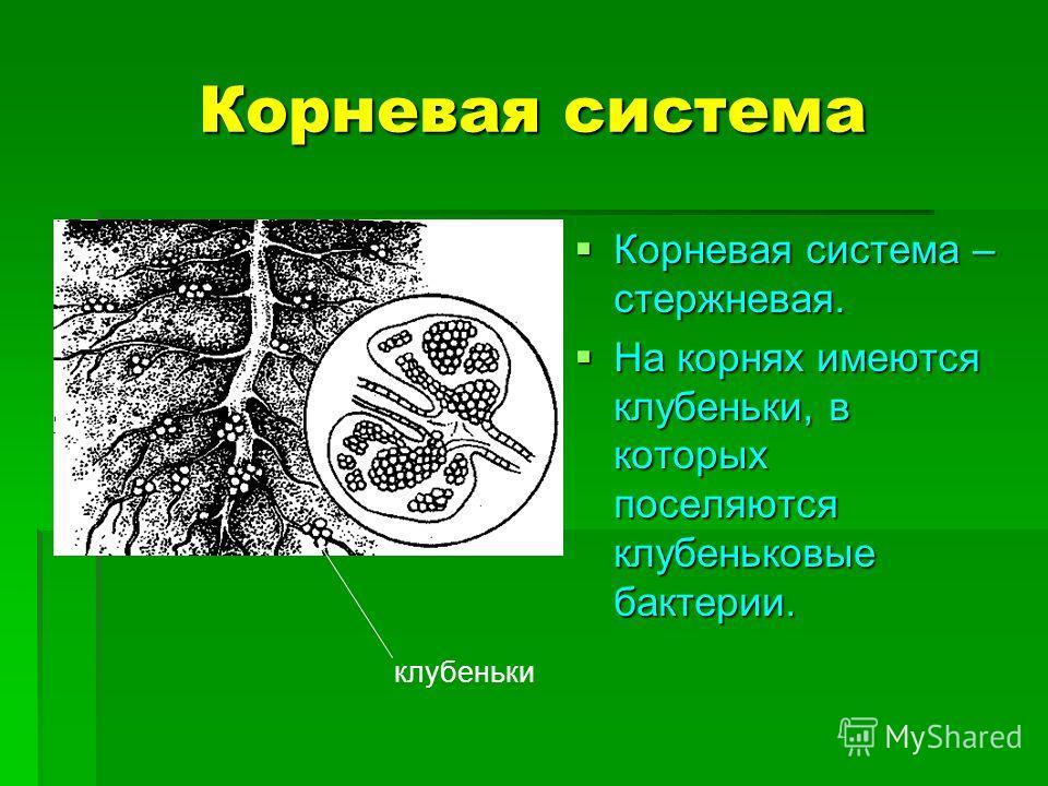 Корневая система Корневая система – стержневая. Корневая система – стержневая. На корнях имеются клубеньки, в которых поселяются клубеньковые бактерии. На корнях имеются клубеньки, в которых поселяются клубеньковые бактерии. клубеньки