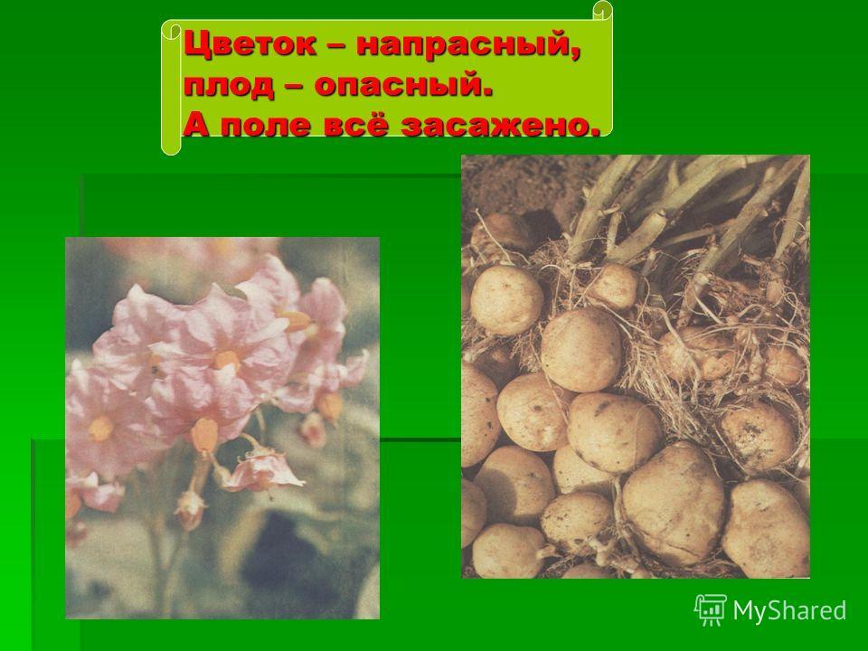 Цветок – напрасный, плод – опасный. А поле всё засажено.